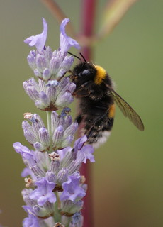 Bumblebee busy on Lavender | by Nicolien3000