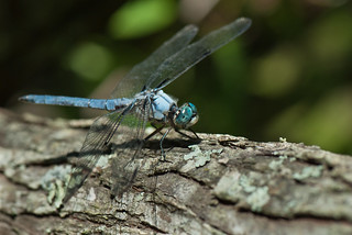 Blue Dragonfly | by Judy Rushing