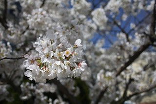 Prunus X 'Okame' | by Hickory Hollow Nursery and Garden Center