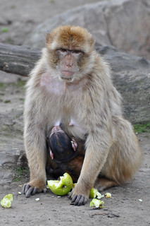 Barbary Macaque & Young | by Truus & Zoo