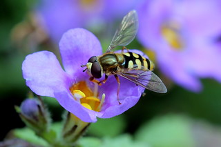Hoverfly | by Mr.Barthez aka Alan A.