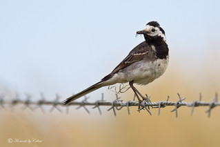 Pied Wagtail and grub | by Canon Queen Rocks (1,760,000 + views)