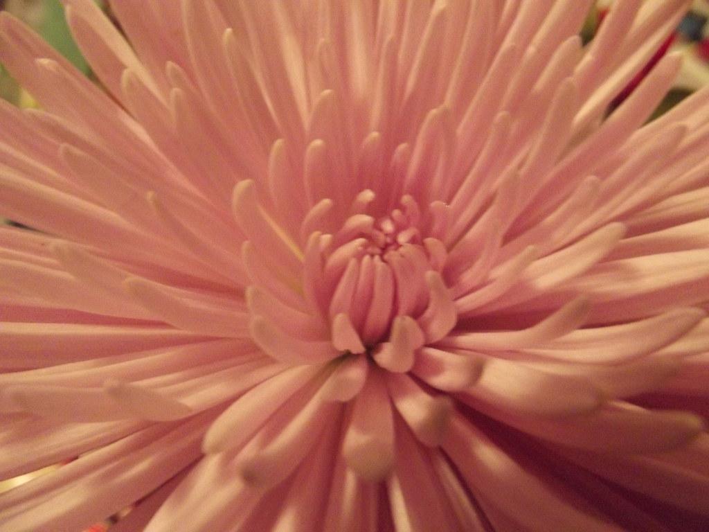 Macro Pink Flower I Need To Start Studying Flower Names B Flickr