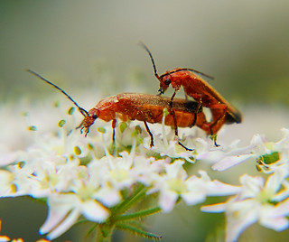 Soldier Beetles | by Oldt1mer - Keith