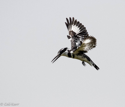 Pied Hoverbird | by Cal Kerr
