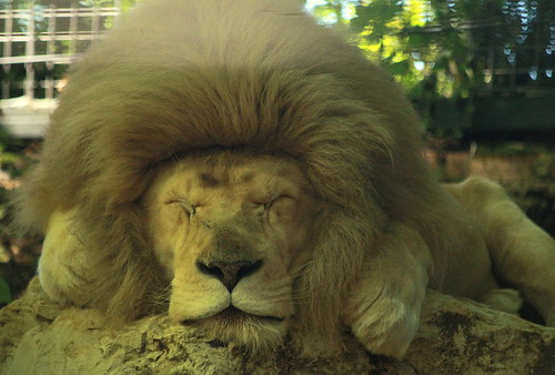 Sleeping lion | by catb -