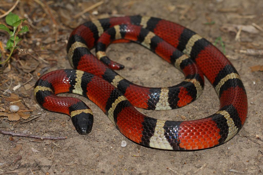 Mexican milk snake | Wiki | Everipedia