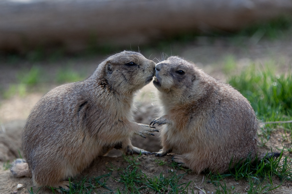 Prairie dogs kissing family members greet with what look flickr prairie dogs by ramislevy prairie dogs by ramislevy m4hsunfo