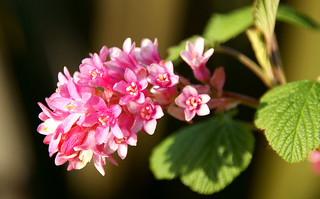 Flowering Currant [EXPLORED #159 01/04/12] | by @JohnA390