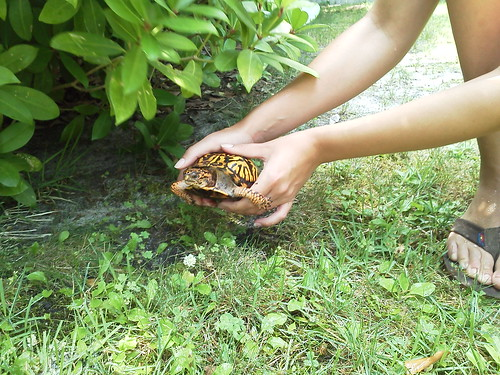 Rescued box turtle | by Travels In J-land