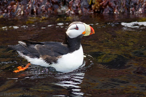 Horned Puffin | by phil.jeffrey