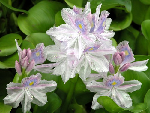 WATER HYACINTH  #3 | by 3Point141