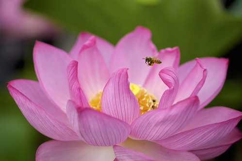 Lotus⑥ | by y_phog