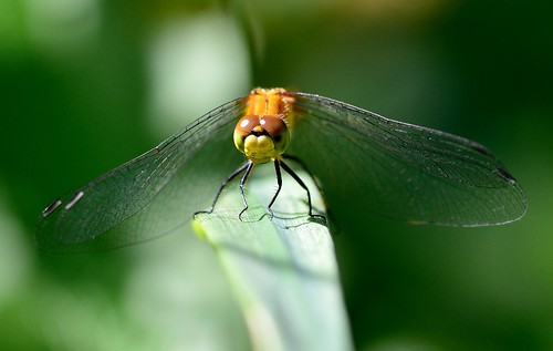 Sympètre éclaireur / White-faced Meadowhawk ♀ | by anjoudiscus