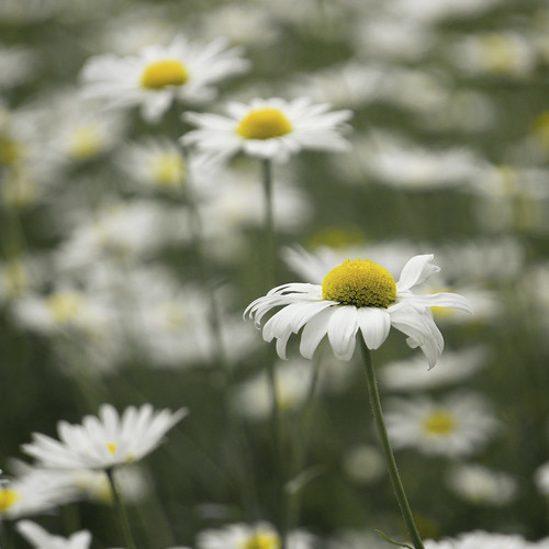 Daisy Days | by pearceval