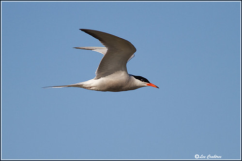 common tern _4301 | by Lee Crabtree photography