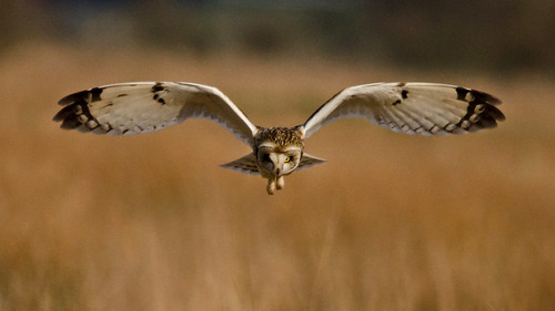Short-eared Owl | by MOZBOZ1