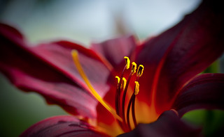 Another lily | by Flick Vlooi
