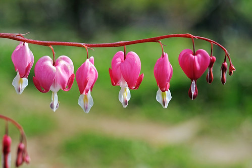 Bleeding Hearts | by STE