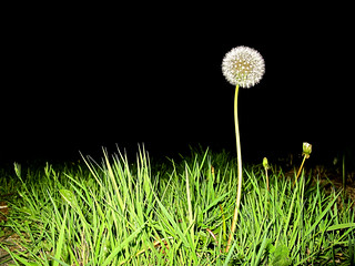 Dandelion: Night shot | by Zafar (newatclicking is chewing the cud....)