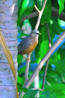 Chestnut-tailed Starling / Grey-headed Myna or Desi powai ( in bengali ) | by Siddhartha Das