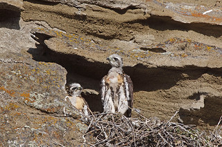 Two Red-tailed Hawk chicks in their nest. | by Alan Vernon.