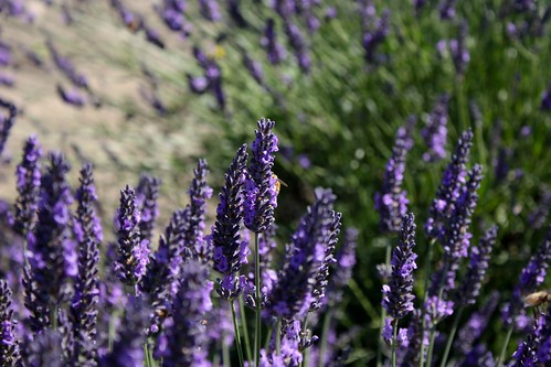 Lavender Picking at Graysmarsh Farms in Sequim, WA | by osiristhe