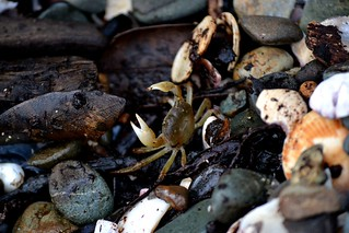 Crab that was a bit miffed I moved his cover | by DogGeek Lara