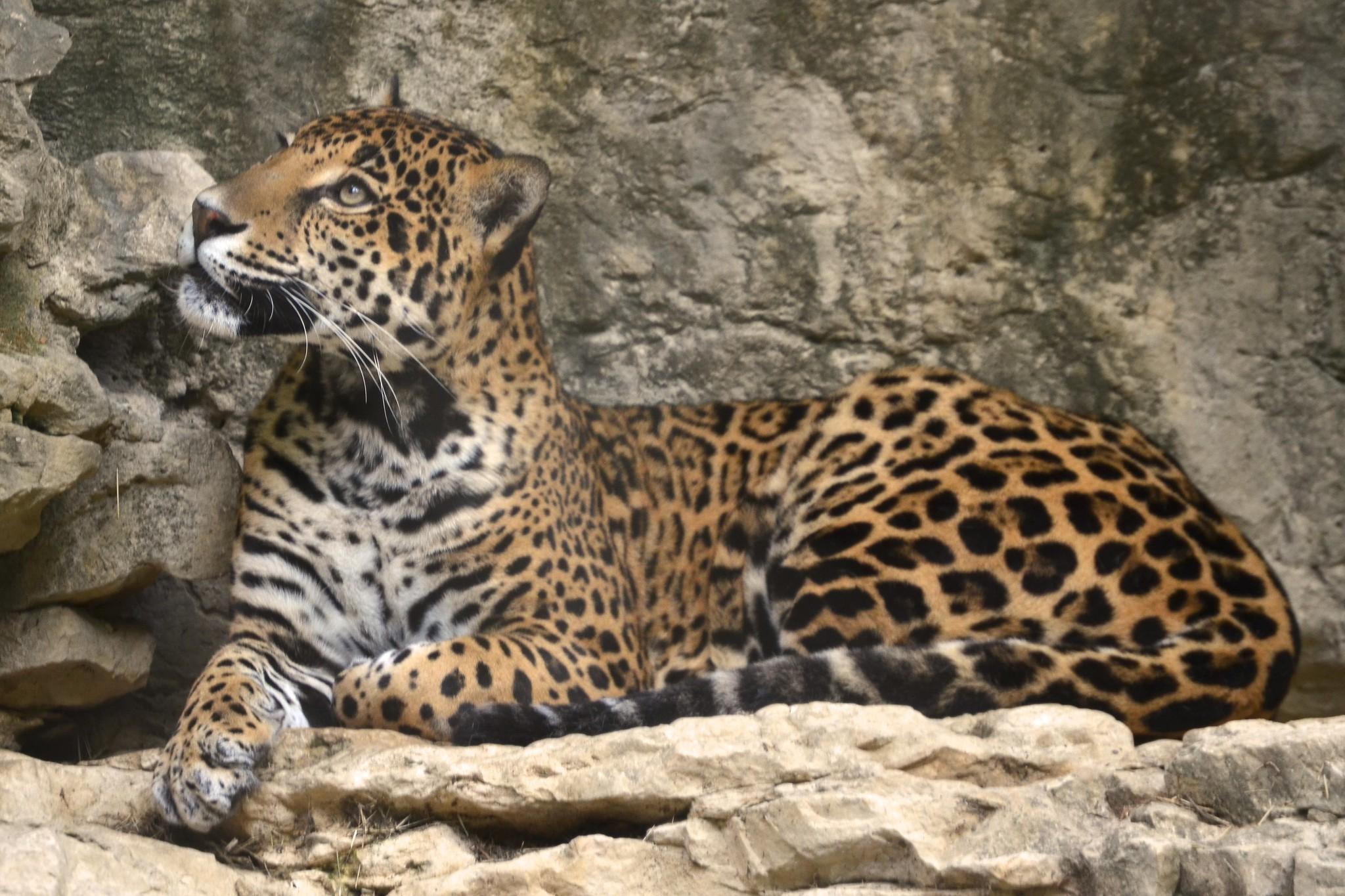 Big Cat Shootout - Lion vs Tiger vs Mountain Lion vs Jaguar vs