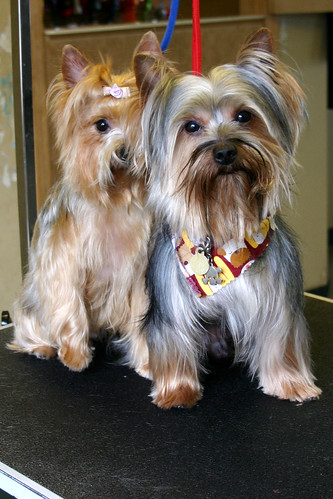 Yorkshire Terriers | by deanna_