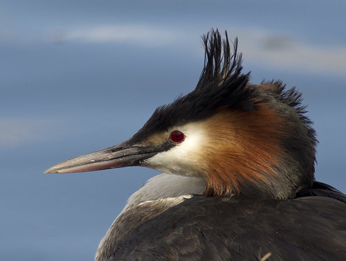 Great Crested Grebe - Haubentaucher | by pe_ha45