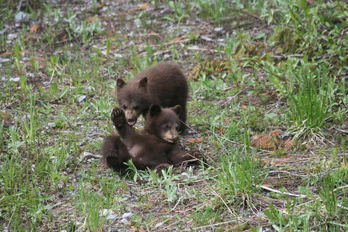 Black Bears in Nordic - June 25, 2012 198 | by cypressmountain