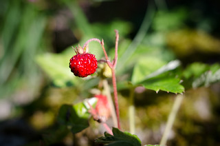 16th June Wild Strawberry in Burgundy | by The Hungry Cyclist