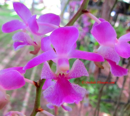 Aerides crassifolia | by thaieyes