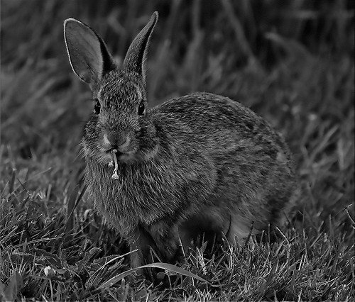 Cottontail | by l_dewitt