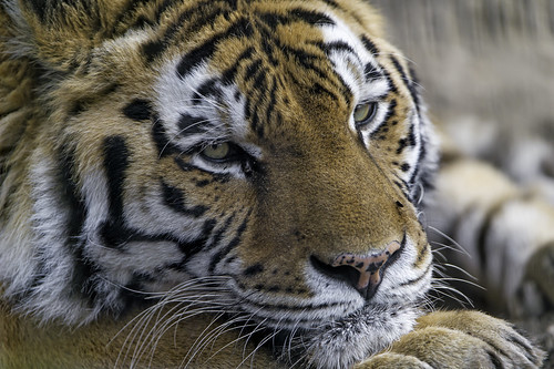 Closeup of Lucky lying | by Tambako the Jaguar