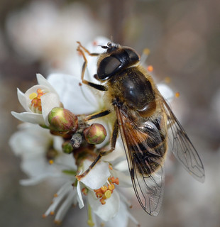 Drone fly- Eristalis pertinax (female) | by conall..