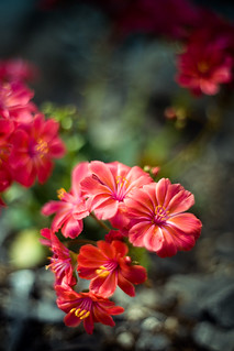 Lewisia Blooms | by Kelly Sereda