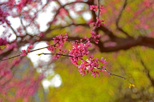 nikon d5100 photography: redbud blossoms (photo no. 2) ------- viewed 938x | by norlandcruz74