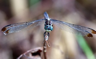 Blue Dasher | by bamboosage