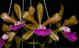Lc Maui Leopard | by orchid dude