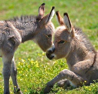 Baby Mules | by Don Iannone