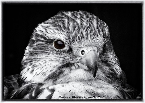 Saker Falcon | by Anne Mancini-Smith