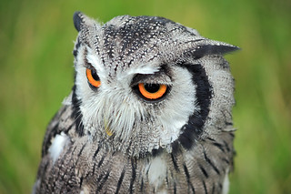 White Faced Scops Owl 4 | by Victoria Baines (So sorry I've been quiet lately.