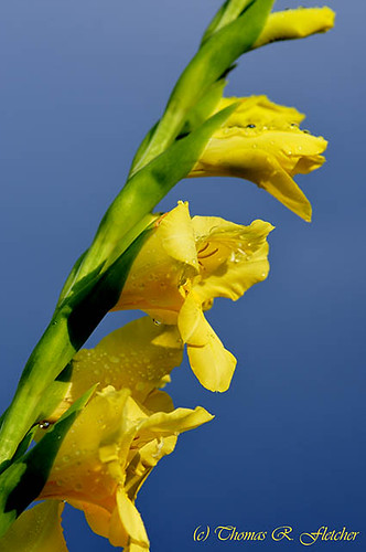 Gladiolus Blossom and Raindrops | by travelphotographer2003
