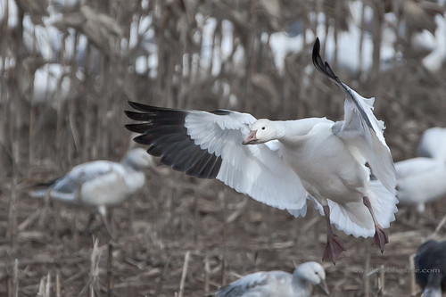 Snow Goose | by Shots by VB
