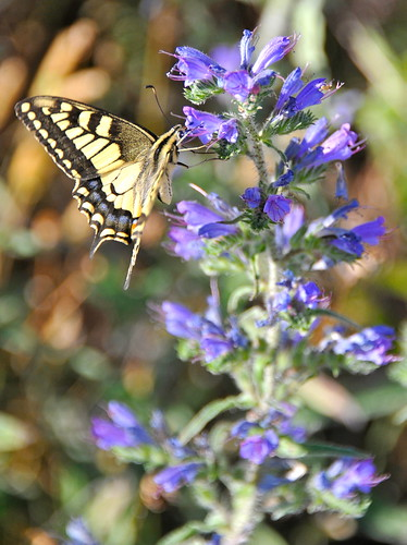 Swallowtail Butterfly | by stephenweaver