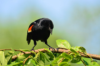 Red-winged Blackbird | by jt893x