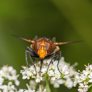 Hoverfly (Volucella Pellucens) | by mike.stephen99