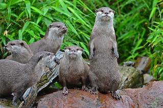 A family of otters | by Sharon Emma Photography